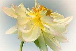 lotus blossom no.2